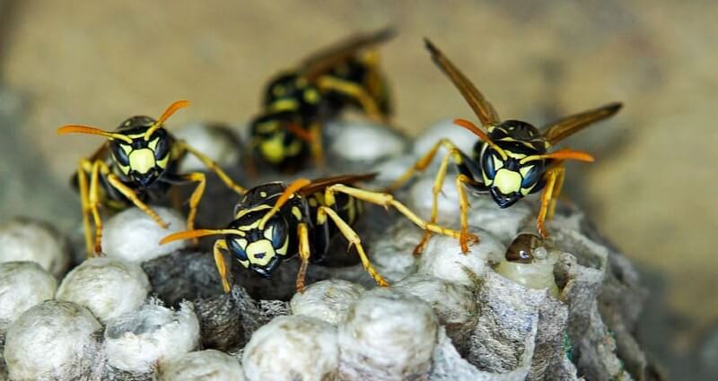 wasp control & nest removal services in Manassas