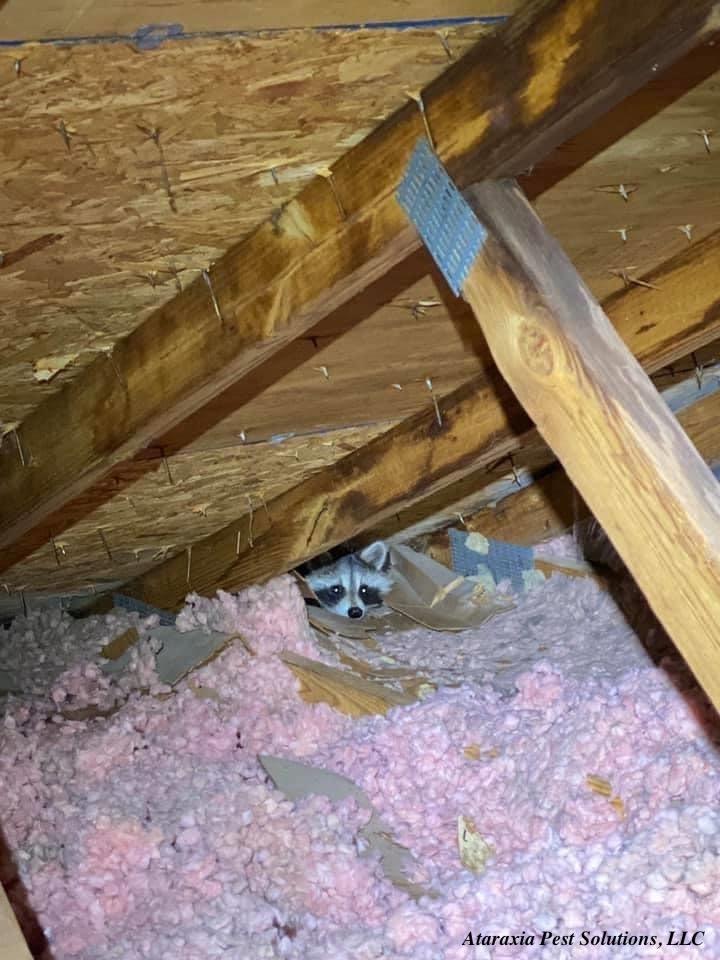 Raccoon Control & Removal Services In Manassas VA