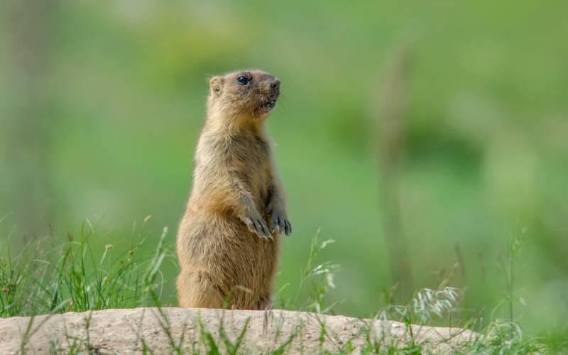 Groundhog Control Services In Manassas VA