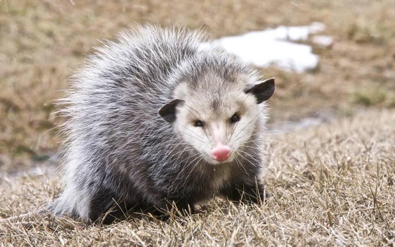 opossum control & removal service in Manassas VA