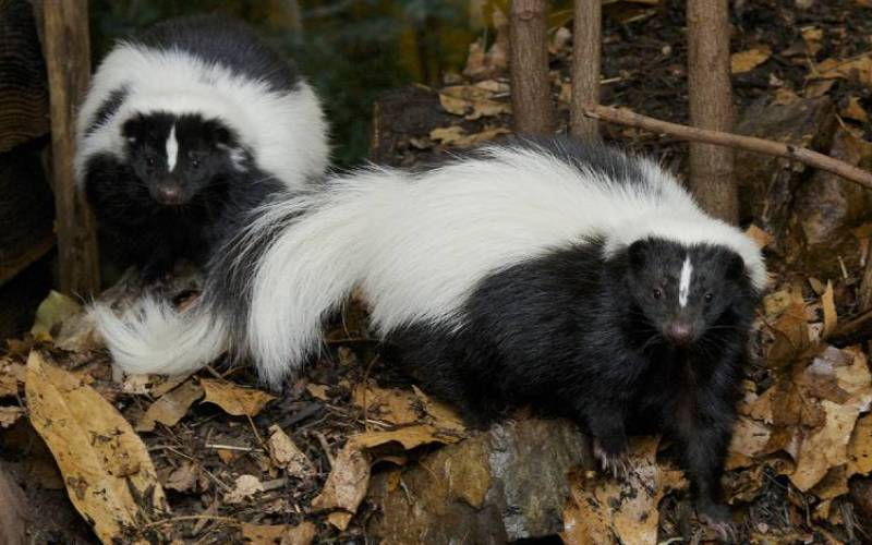 skunk control & trapping services in manassas